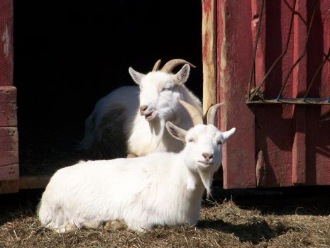 goats 2 by bipolargenius