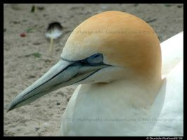 Northern Gannet closeup by TVD-Photography