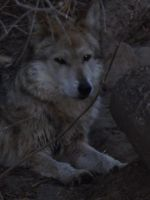 Mexican Grey Wolf by Deede25