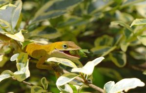 Anole Appetizer by FallOut99