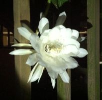 Queen of the Night 2 by syah-mj