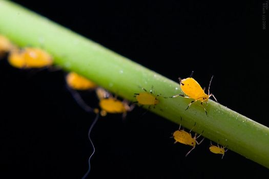 Aphid by geostant
