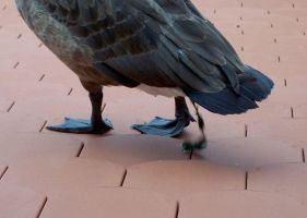 Goose making itself at home on a roof by MrSchnada
