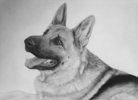 The happy German shepherd by Icedexta