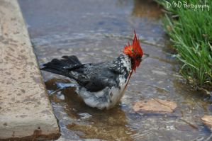 Red Crested Cardinal V (Ruffled His Feathers) by AllAboutDianne