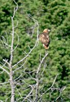 Treetop Perched Red Tailed Hawk by Kippenwolf