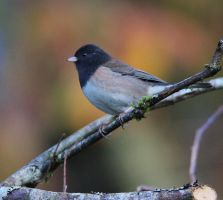 Junco by finhead4ever