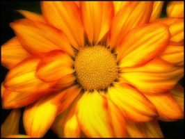 CHRYSANTHEMUM by THOM-B-FOTO