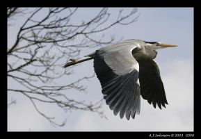 Heron In-Flight by andy-j-s
