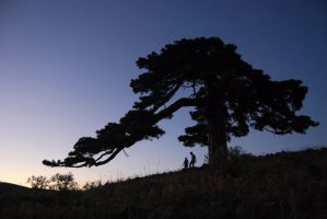giant pine tree with friends by erdal
