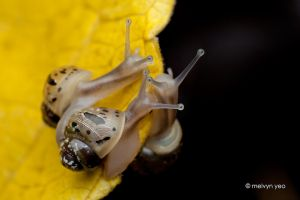 Snail by melvynyeo