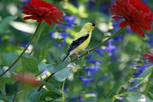Goldfinch 3 by MegMarcinkus