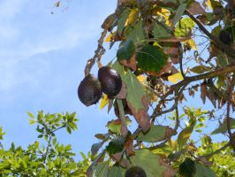 Avocados in Fallbrook Grove by deviantmike423
