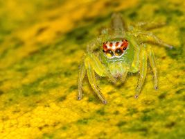 Jumping Spider by Suzie-N