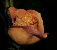 ..,Wet Rose... by duggiehoo