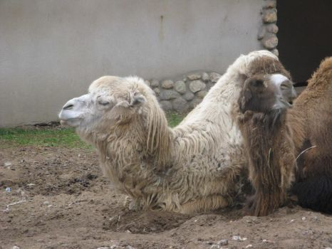 camels by Delcatty00