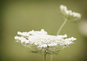 Queen Anne's Lace by DillonStein