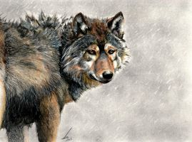 Timber Wolf by salt25
