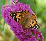 Painted Lady by BavarianGoassBeard