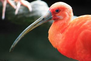 Scarlet Ibis Profile by mydigitalmind