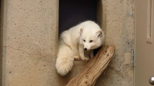 Arctic Fox by C-Productions