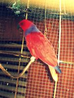 Tropical Red and Blue Bird by katrinaanne