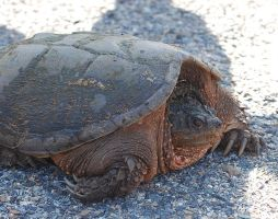 snapping turtle 2 by objekt-stock
