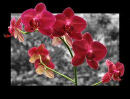 Orchid 6 by dreamertechie