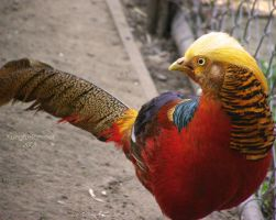 Golden Pheasant by KungfuHamster