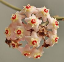 Hoya carnosa by starykocur