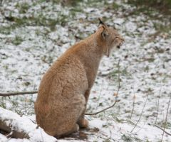 vocalizing lynx by bookscorpion