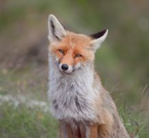 Smiling Fox by RobertoBertero