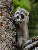 Baby Raccoon... by White-Voodoo