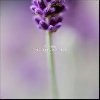 Lavender by AniekPhotography