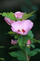 Rose of Sharon 1 by ma8201