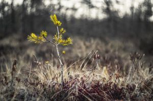 Yellow Pine by sulevlange