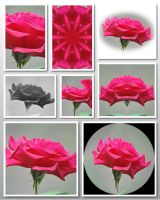 Just a Single Rose Collage by Tailgun2009