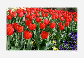 Temple Tulips by sportygirl4114
