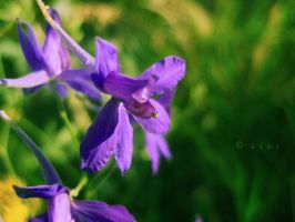 Violets by Giubis