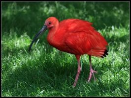 Scarlet Ibis by cycoze