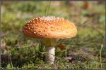 Orange Fly Amanita by Clu-art