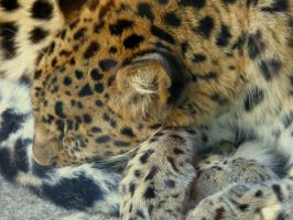 Amur Leopard by absolutangel04