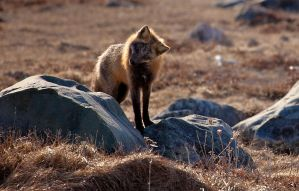 Wild Fox Shot Moments Ago 2 by Witch-Dr-Tim