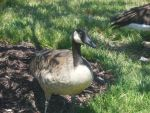 Another Goose by SilverTetsusaiga