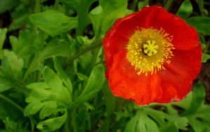 Poppy III by PamplemousseCeil