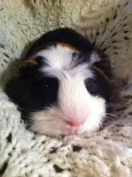 Snugly Piggy by fataleflare
