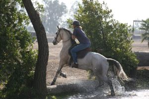 Gray Arabian / Friesian Cross Mare Cross Country by HorseStockPhotos