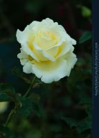 White Rose III by kuschelirmel-stock