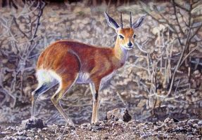 Steenbok by WillemSvdMerwe