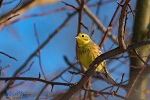 Yellowhammer by PhotoDragonBird